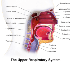 Nasal Turbinates and Upper Respiratory System